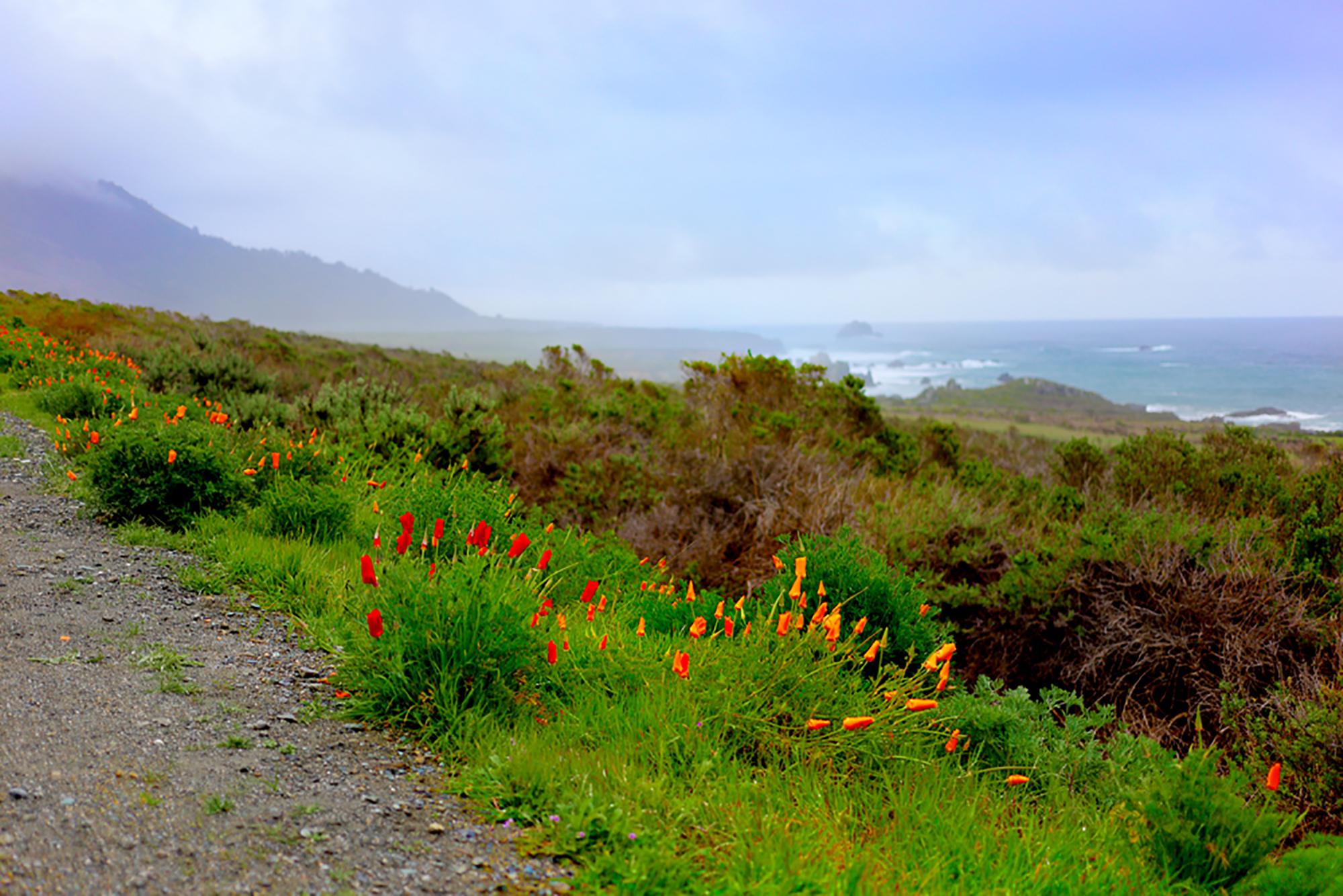 Coastal Poppies by Rich J. Velasco