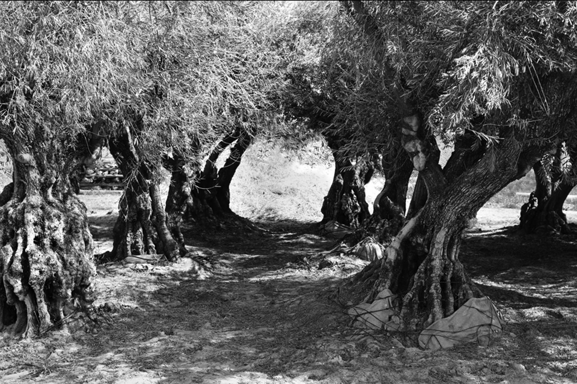 Olivos of Calistoga by Rich J. Velasco